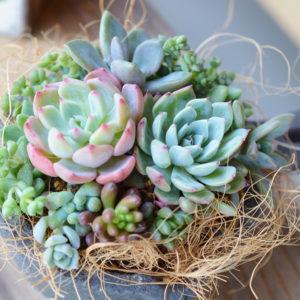 succulent01